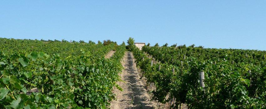 Windischbauer Wein - Unser Weingarten 02